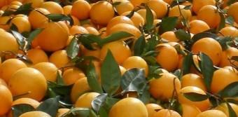 Διανομή πορτοκαλιών από τον Δήμο Καλλιθέας